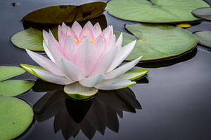 buddhism and psychotherapy-waterlily